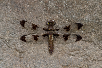 Twelve-Spotted Skimmer - Adult Female