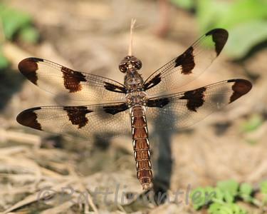 Twelve-Spotted Skimmer - Adult Female