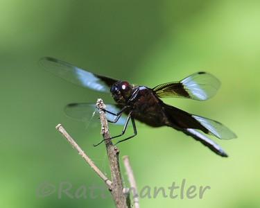 Widow Skimmer - Adult Male