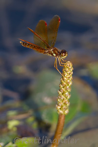 Eastern Amberwing - Adult Male