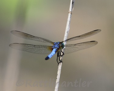 Blue Dasher - Adult Male