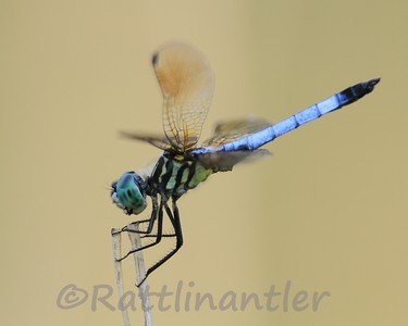 Blue Dasher -Adult Male