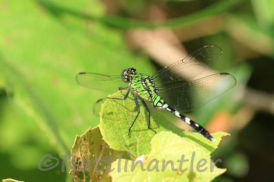 Eastern Pondhawk - Juvenile Male
