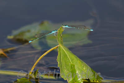 Blue-Ringer Dancer Damselfly - Adult Male