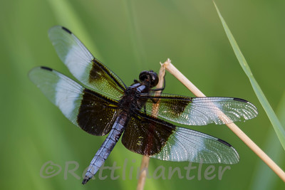 Widow Skimmer - Adult Male