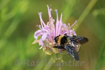 Bumblebee on Wild Bergamot