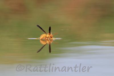 Sonoma Desert Wasp