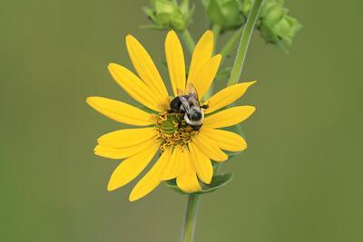 Bumblebee on Sawtooth Sunflower