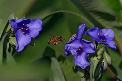 Honey Bee on Spiderwort Blooms