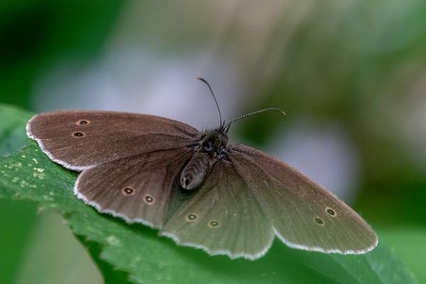 Ringlet Aphantopus hyperantus