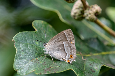 Purple Hairstreak Favonius quercus