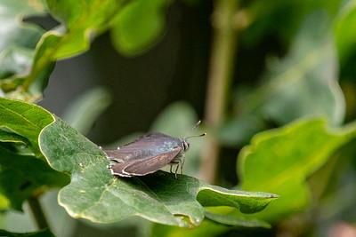 Purple Hairstreak Favonius quercus