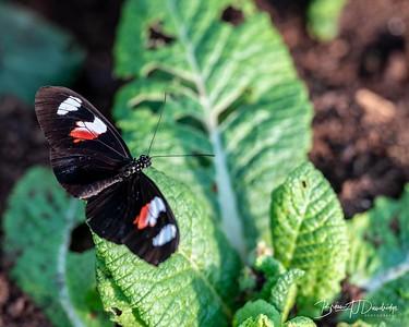 Middleton Butterflies-6513