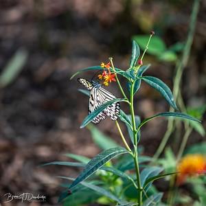 Middleton Butterflies-6522