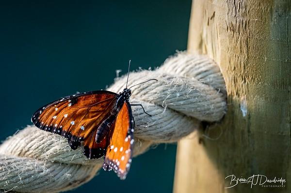 Middleton Butterflies-6551