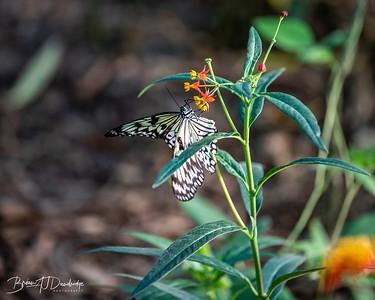 Middleton Butterflies-6524