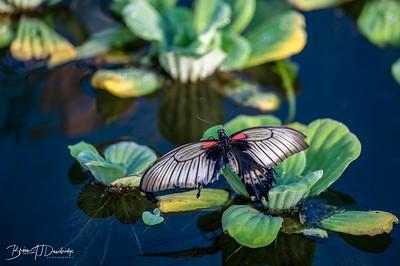 Middleton Butterflies-6518