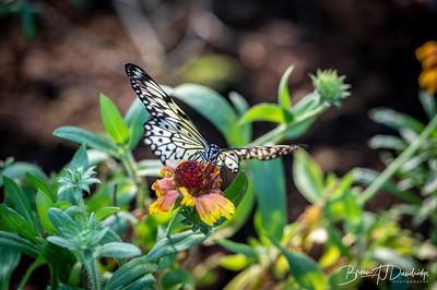 Middleton Butterflies-6558