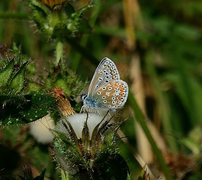 Common Blue <i>(Polyommatus icarus)</i> Female underside.