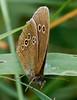 Ringlet <i>(Aphantopus hyperantus)</i>