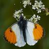 Male Orange-tip <i>(Anthocharis cardamines)</i>