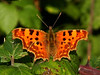 Comma <i>(Polygonia c-album)</i>