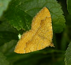 Yellow Shell Moth. (Camptogramma bilineata)