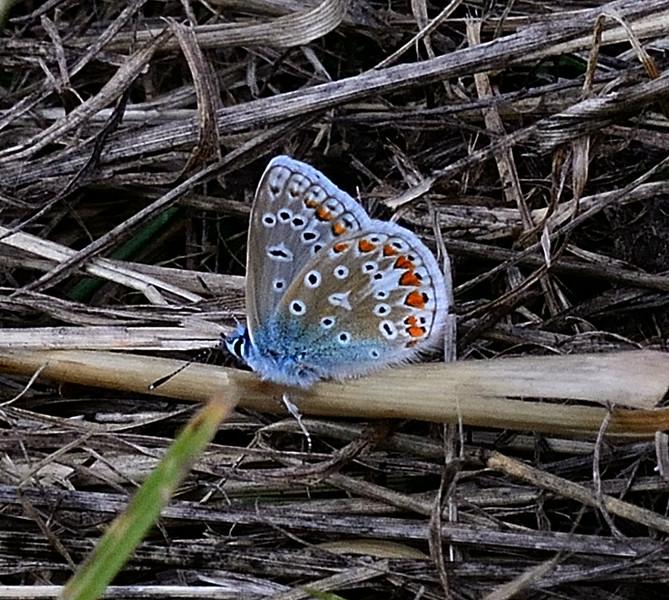 Common Blue <i>(Polyommatus icarus)</i>) Female underside.