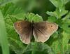 Meadow Brown <i>(Maniola jurtina)</i>