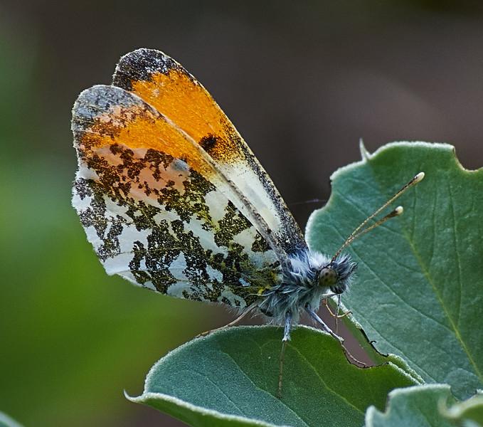 Male Orange-tip <i>(Anthocharis cardamines)</i> The underside of wings is distinctive