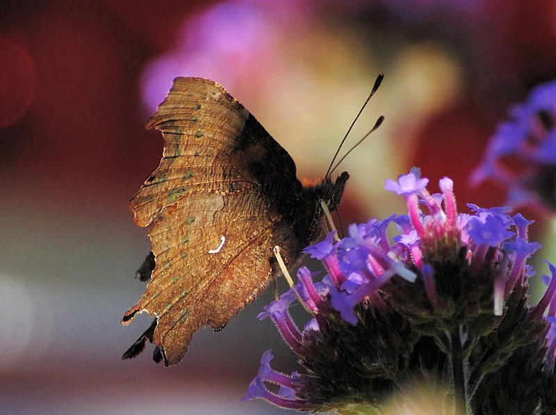 Comma. (Polygonia c-album)