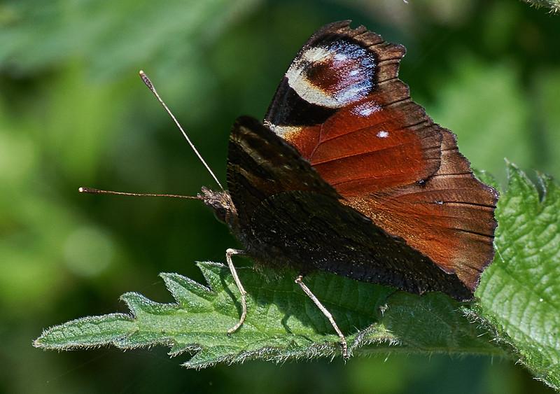 Peacock <i>(Aglais io)</i>