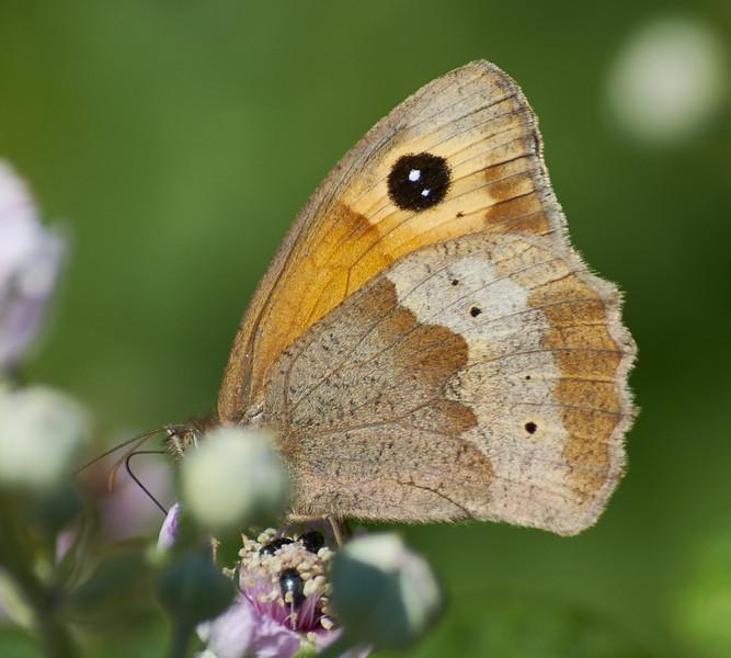 Gatekeeper <i>(Pironia tithonus)</i>  This is a male