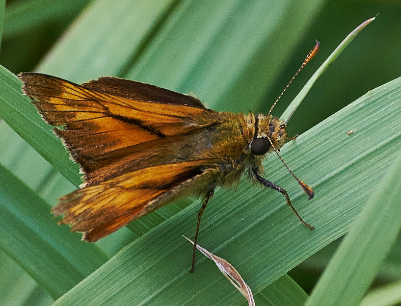 Large  Skipper  <i>(Ochlodes sylvanus)</i>