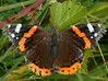 Red Admiral (Vanessa atalanta)  Showing the ravages of time!