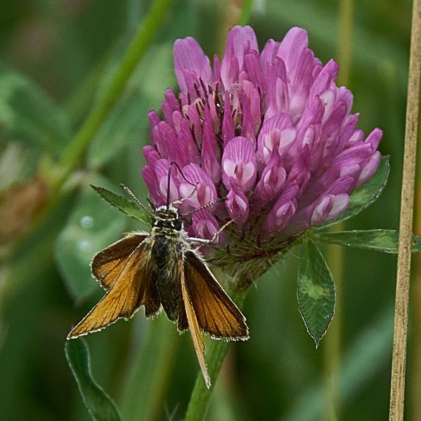 Small Skipper <i>(Thymelicus sylvestris)</i>