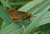 Large  Skipper  <i>(Ochlodes sylvanus)</i><br> The presence of a faint chequered pattern on both sides of the wings distinguishes this species from the similar Small and Essex Skippers.  This is clearly seen on the ventral wing surface of this specimen.