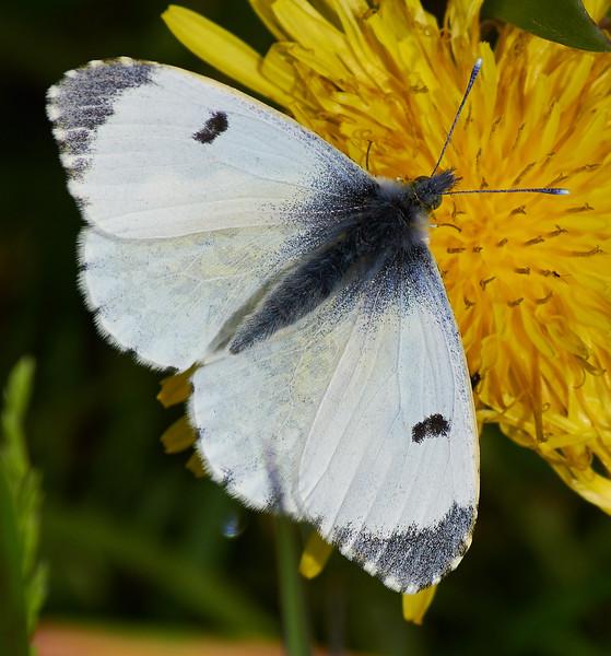 Female Orange-tip<i>(Anthocharis cardamines)</i> Easily confused with Small White.