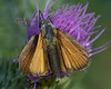 Small Skipper <i>(Thymelicus sylvestris)</i>
