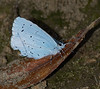 Holly Blue <i>(Celastrina argiolus)</i> Male