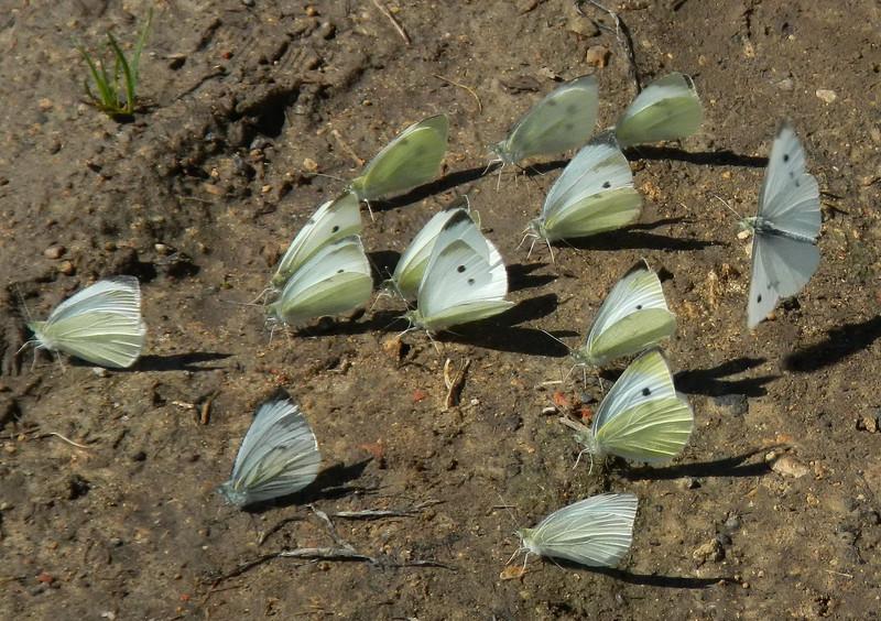 A platoon of Small Whites  <i>(Pieris rapae)</i>
