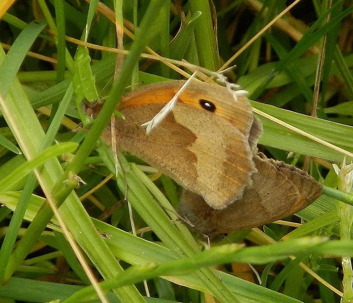 Meadow Brown <i>(Maniola jurtina)</i> mating
