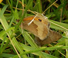 Meadow Brown <i>(Maniola jurtina)</i> mating