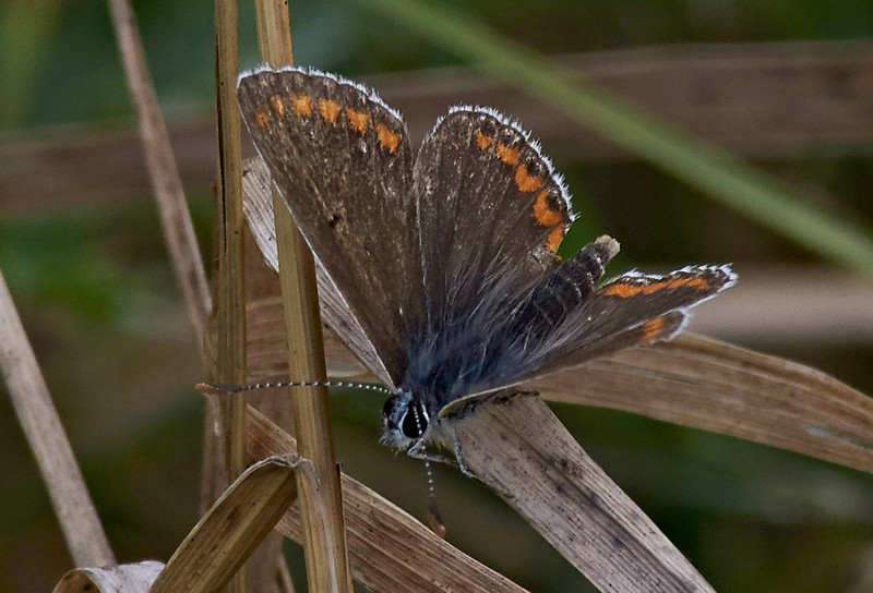 """Unlike most other """"blues"""", the Brown Argus has no blue scales on its upperside"""