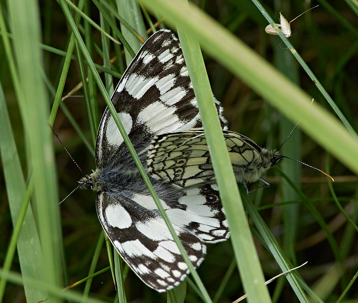 Mating pair of Marbled Whites.  The female is distinguished by her browner ventral surface and (usually) larger size<br /> The male is on the right in this image.