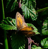 Gatekeeper (Pironia tithonus)