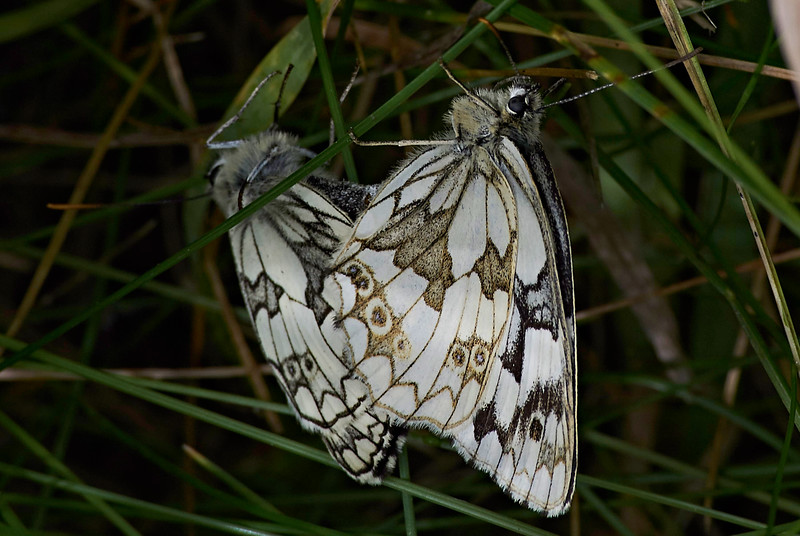 Mating pair of Marbled Whites.  The female is distinguished by her browner ventral surface and (usually) larger size.<br /> The female is on the right in this image.