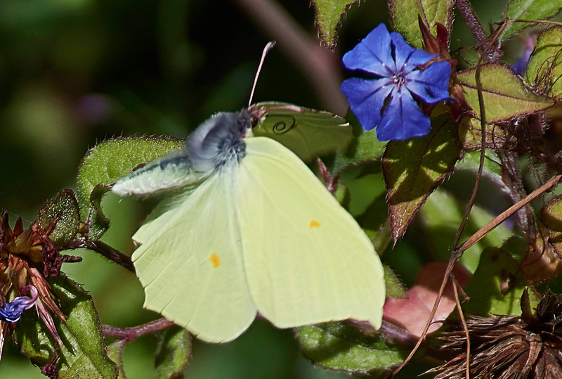 Male Brimstone <i>(Gonepteryx rhamni)</i> <br> They never settle with their wings open. This makes it difficult to capture satisfactory images of the dorsal wing surface.  Here the butterfly is captured in flight and the butter-yellow dorsal wing surface with its characteristic orange spots can be seen.