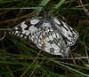 Mating pair of Marbled Whites.  The female is distinguished by her browner ventral surface and (usually) larger size.<br /> Here, the male is the lower and smaller of the two.