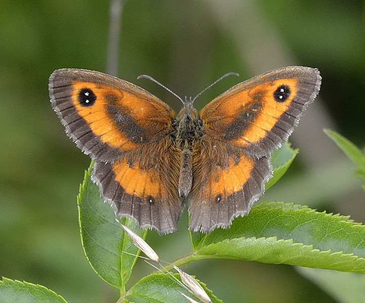 Gatekeeper <i>(Pironia tithonus)</i>